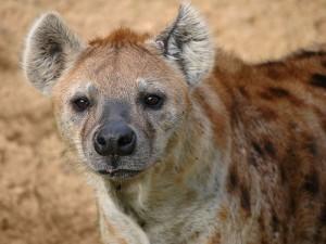 Las hienas no son esos perritos buenos y tranquilos que aparentan ser